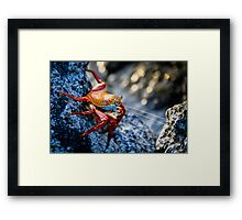 Sally Lightfoot Crab - Attack Framed Print