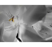 Mosquito - insect Photographic Print