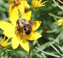 Bumble Bee hard at work by Sheryl Hopkins