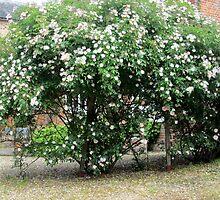 my neighbours lovely rose tree by margaret hanks