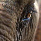 Elephant Eye by John Nelson