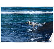 Great Blue Heron in the Galapagos feeding on Baby Iguana Poster