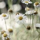 Daisies by Christopher  Rees