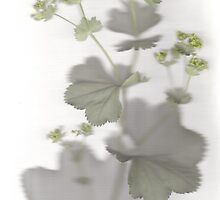 Lady's Mantle by MagsWilliamson