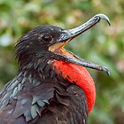 Male Magnificent Frigatebird from Ecuador by Paul Wolf