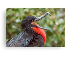 Male Magnificent Frigatebird from Ecuador Canvas Print