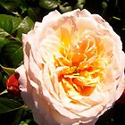 Governor General's Roses  7 by Shulie1