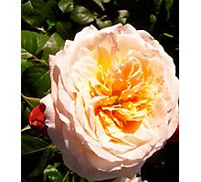 Governor General's Roses  7 Photographic Print