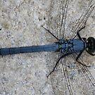 Little Blue Dragonfly by Bob Hardy