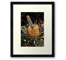 Banksia Flower Framed Print
