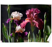 Lady Friend - Bearded Iris Poster