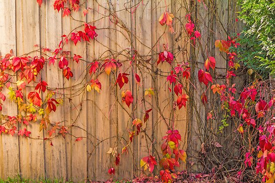 Virginia Creeper by Elaine Teague