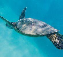 Swimming with Hawaiian Green Sea Turtle by axemangraphics