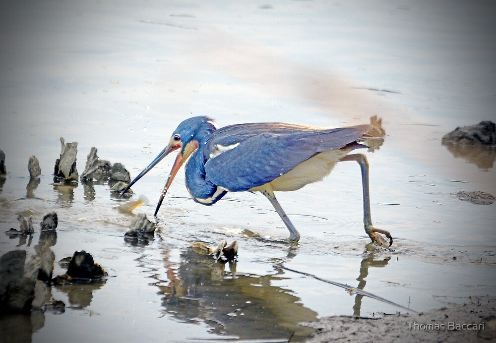 TRI-COLORED HERON GOES AFTER FISH by TJ Baccari Photography