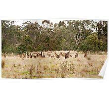 Troop of Kangaroos Poster