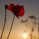 Among the Poppies by Stuart  Gennery