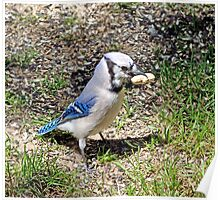 Blue Jay with a peanut Poster