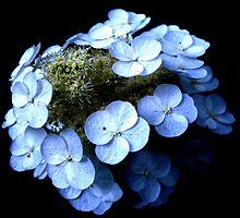 White Hydrangea by Koon