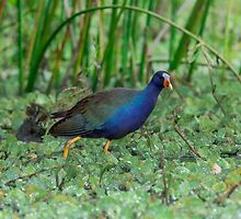 Purple Gallinule (Porphyrio martinica) by Paul Wolf