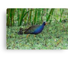 Purple Gallinule (Porphyrio martinica) Canvas Print