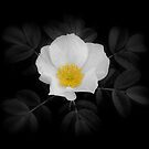 White Rose on Black by katpix