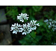 Parsley Flowers Photographic Print