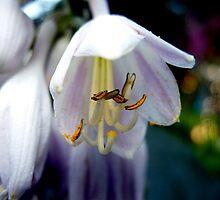 White Purple Bells by Koon