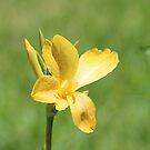 Golden Canna Lily by Bob Hardy