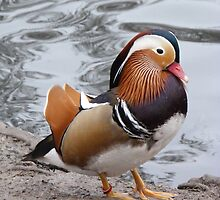 March of the Mandarin Duck by Sandra Caven