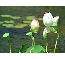 Budding Lotus Photographic Print