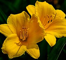 A couple of Stella D'oro lilies by cclaude