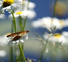 Pearly Crescentspot on Daisies by deinaz