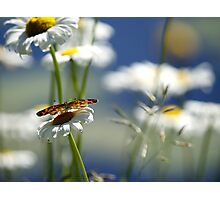 Pearly Crescentspot on Daisies Photographic Print