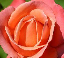 Pink Orange Rose Head by Mike HobsoN