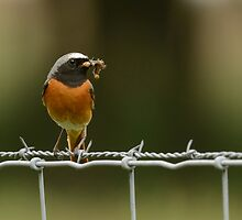 Men at Work - Male common redstart by Peter Wiggerman