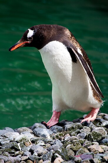 Gentoo Penguin by rosepetal2012