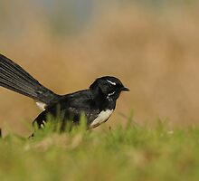 Willie Wagtail by Nick Hart