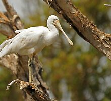 Yellow-billed Spoonbill by Nick Hart