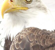 Dollar - The Bald Eagle by TheShutterbugsG