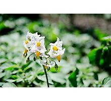 Potato flower - yellow and white Photographic Print