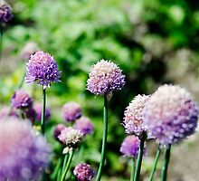 Allium flower by Andrew Robinson