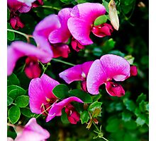 Sweet Pea flowers in the sunshine Photographic Print