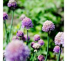 Allium flowers Photographic Print
