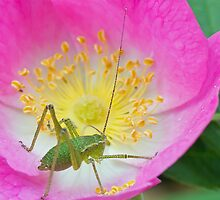 Speckled Bush Cricket Nymph by MikeSquires