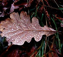 Oak leaf in the rain. by Neil MacNeill