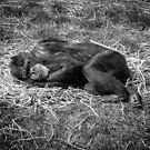Sleeping chimp by gregtoth85