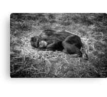 Sleeping chimp Canvas Print