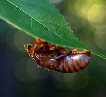Sunrise Cicada Shell by LoganG