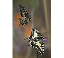 Swallowtails Photographic Print