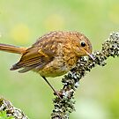 European Robin by M.S. Photography/Art